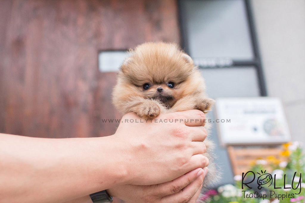 Barbie - Pomeranian - Rolly Teacup Puppies