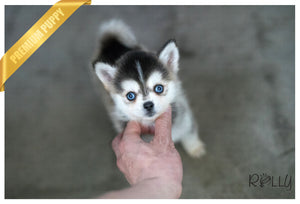 (Purchased by Pat) Teal - Pomsky. F - Rolly Teacup Puppies - Rolly Pups