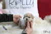 (Purchased by Freimuth) Ted - BichonPoo. M - Rolly Teacup Puppies