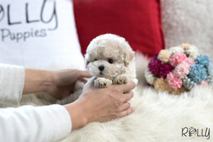 (Purchased by Freimuth) Ted - BichonPoo. M - Rolly Teacup Puppies - Rolly Pups