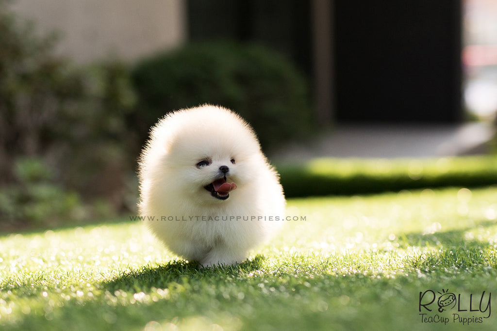 teacup pomeranian near me ted pomeranian m rolly teacup puppies 4901