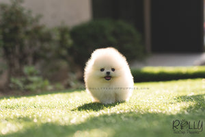 (SOLD to Lyne) Ted - Pomeranian. M - Rolly Teacup Puppies