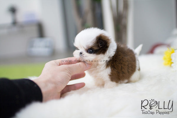 (SOLD to Ramos) Teddy - Shih Tzu. M