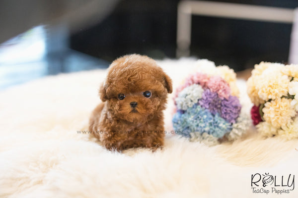 (SOLD to Leslie) Teddy - Poodle. M - Rolly Teacup Puppies