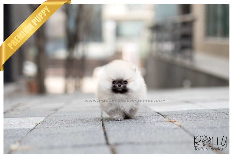 (SOLD to Blanton) Teddy - Pomeranian. M - Rolly Teacup Puppies