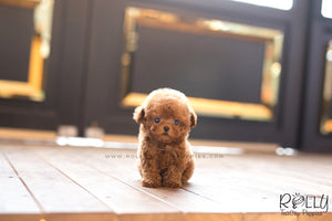 (SOLD to Leslie) Teddy - Poodle. M - Rolly Teacup Puppies - Rolly Pups