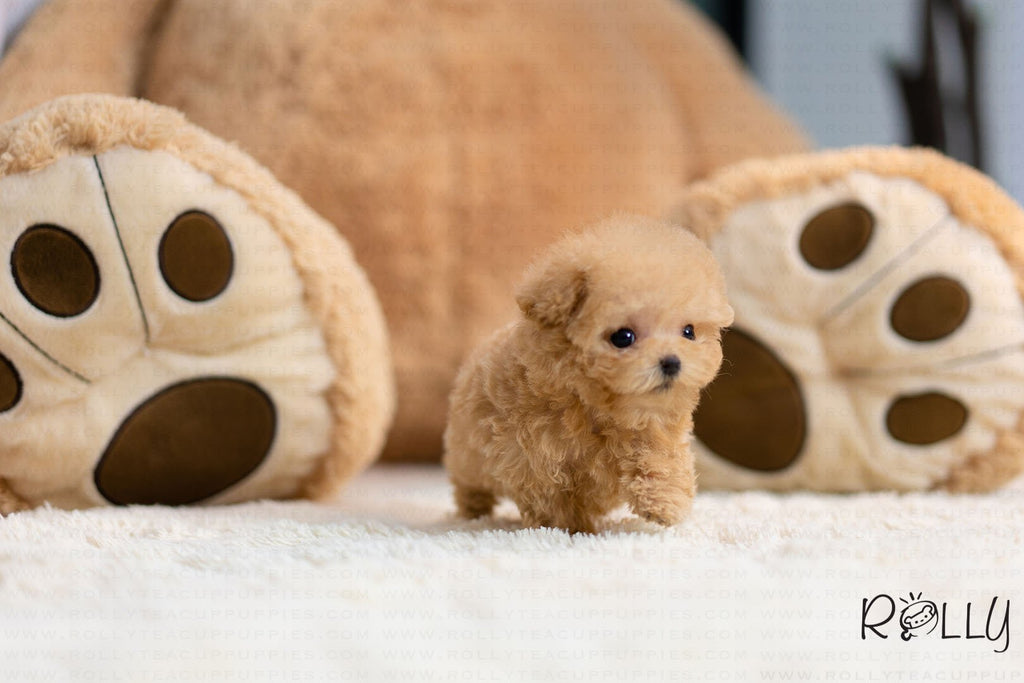 (Purchased by lama ) Teddy - Poodle. M - ROLLY PUPS INC