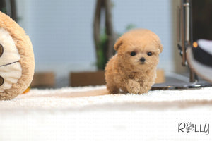 (Purchased by lama ) Teddy - Poodle. M - Rolly Teacup Puppies - Rolly Pups