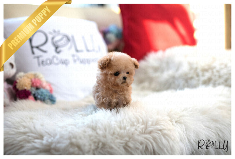 (Reserved by Shah) Teddy - Poodle. M - Rolly Teacup Puppies