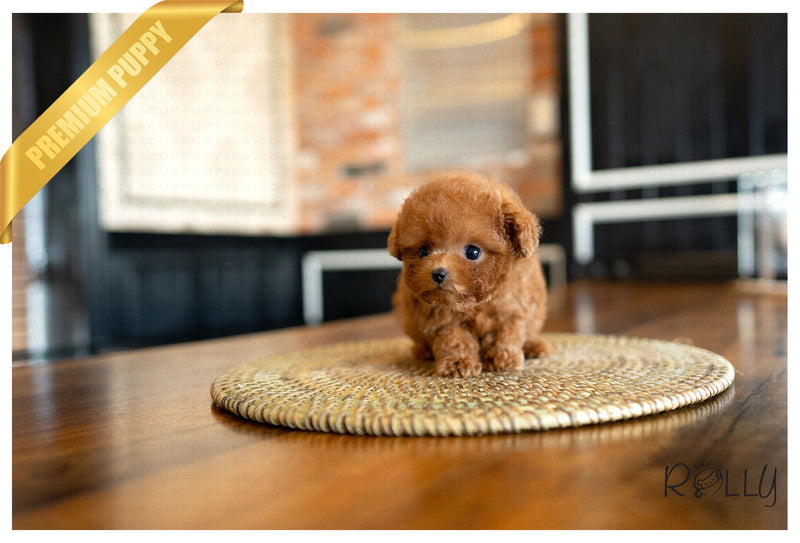 (PURCHASED by Dang) TEDDY - Poodle. M - Rolly Teacup Puppies - Rolly Pups
