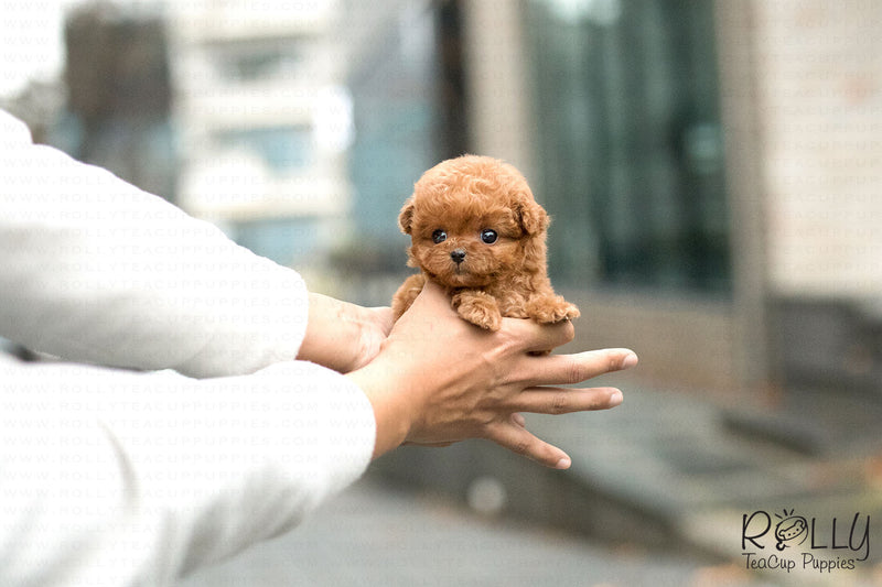 (Purchased by Duca) Teddy - Poodle. M - Rolly Teacup Puppies
