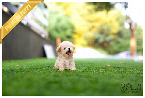 (Purchased by Shiann) Theo - Poodle. M - Rolly Teacup Puppies