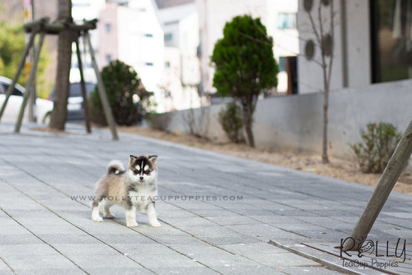 (SOLD to Lee) Thor - Pomsky (Mini Husky)
