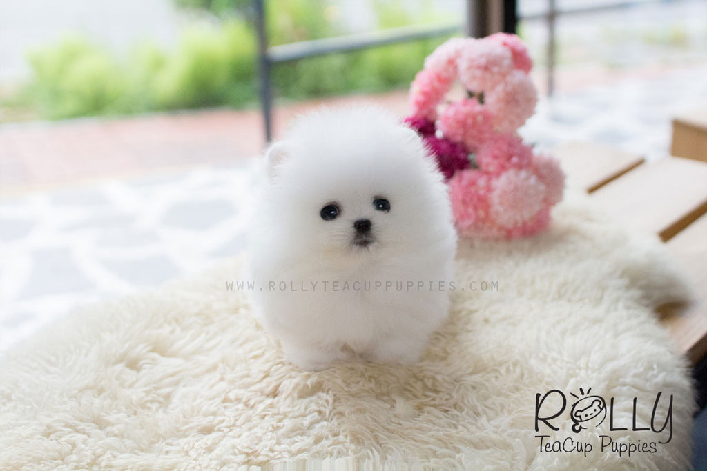 Tiffany - Pomeranian - Rolly Teacup Puppies - Rolly Pups