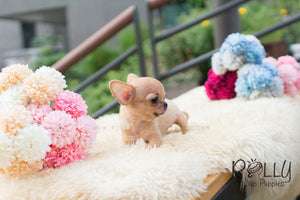 Tini - Chihuahua - Rolly Teacup Puppies - Rolly Pups