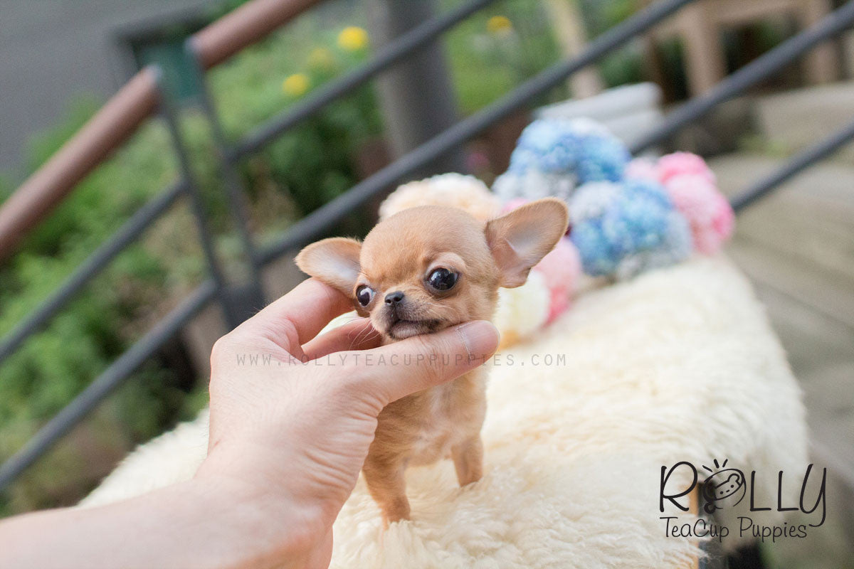 myfriendstoldmeaboutyou - Guide chihuahua teacup
