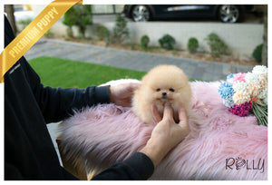 (Purchased by Santa) Tinkerbell - Pomeranian. F - Rolly Teacup Puppies