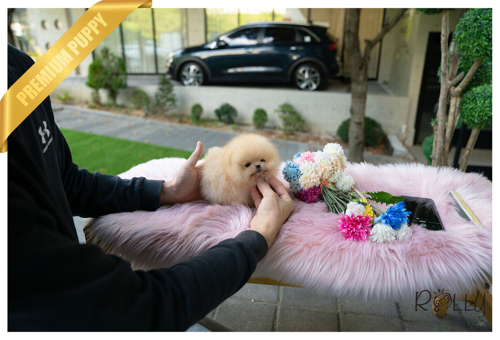 (Purchased by Santa) Tinkerbell - Pomeranian. F - ROLLY PUPS INC