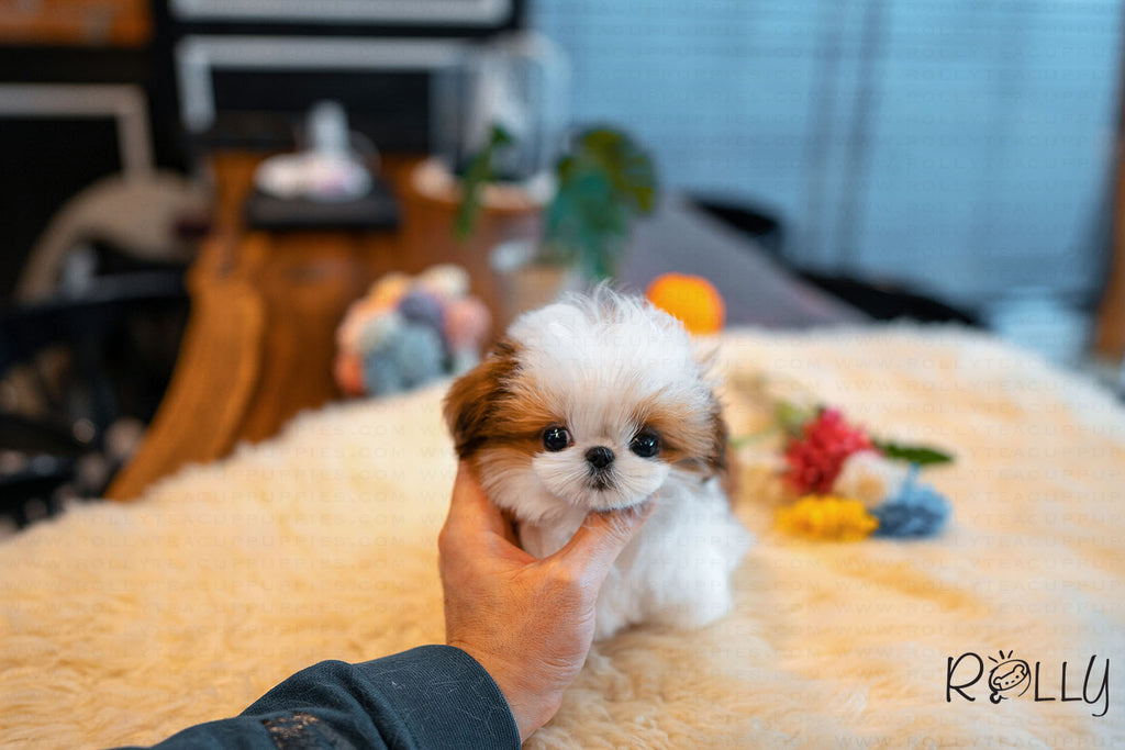 (Reserved by Morrison) Tiramisu - Shih Tzu. F - Rolly Teacup Puppies