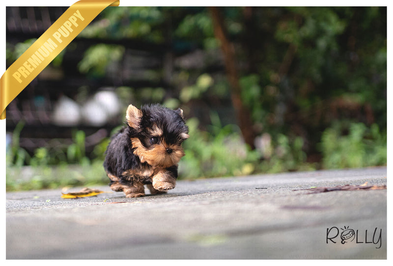 (Purchased by Copeland) TITAN - Yorkie. M - Rolly Teacup Puppies - Rolly Pups