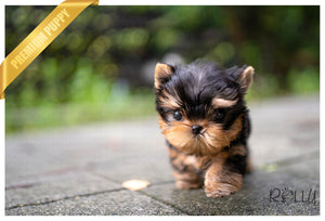 (Purchased by Copeland) TITAN - Yorkie. M - ROLLY PUPS INC