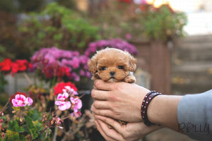 (PURCHASED by Murrell) TOBY - Maltipoo. M - Rolly Teacup Puppies - Rolly Pups