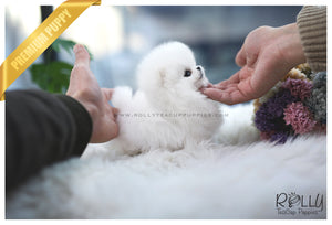 (SOLD to Fraccari)Toby - Pomeranian. M - Rolly Teacup Puppies