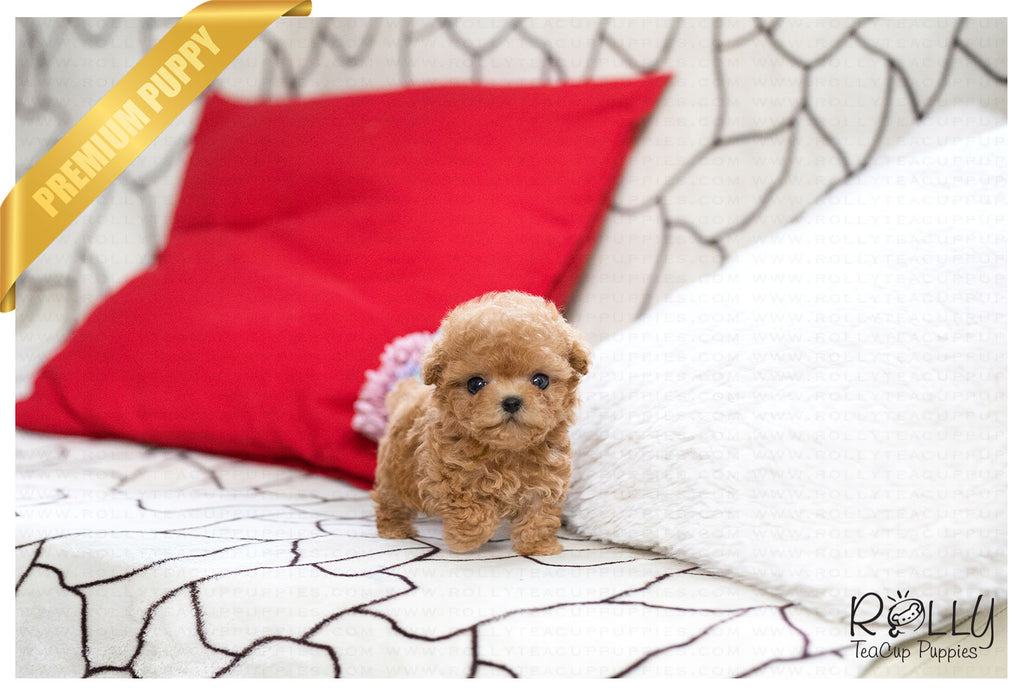 (Purchased by Rosa) Toby - Poodle. M - Rolly Teacup Puppies