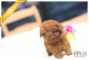 (Purchased by Nassar) Toby - Poodle. M - ROLLY PUPS INC
