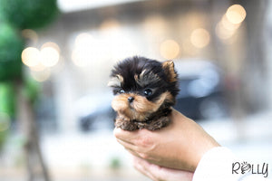 (Purchased by Wysocka) Toby - Yorkie. M - Rolly Teacup Puppies - Rolly Pups