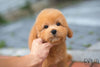 (Purchased by Porto) Toffee - Golden Doodle. F - Rolly Teacup Puppies - Rolly Pups