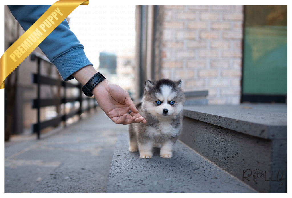 Togo - Pomsky. F - Rolly Teacup Puppies