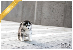 (SOLD to Delnari) Togo - Pomsky. M - Rolly Teacup Puppies - Rolly Pups