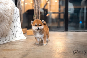 (Purchased by Ingrid) Tokyo - Shiba Inu. F - Rolly Teacup Puppies