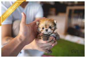 (PURCHASED by Zelman) TOM - Morkie. M - ROLLY PUPS INC