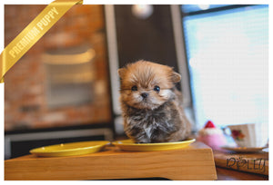 (PURCHASED by Zelman) TOM - Morkie. M - Rolly Teacup Puppies - Rolly Pups
