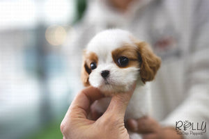 (Purchased by Lyu) Tomato - King Charles. M - Rolly Teacup Puppies