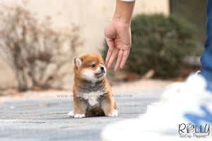 (SOLD to Ghahari) Tomtom - Shiba. M - ROLLY PUPS INC