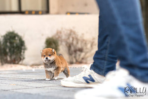 (SOLD to Ghahari) Tomtom - Shiba. M - Rolly Teacup Puppies - Rolly Pups