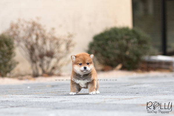 (SOLD to Ghahari) Tomtom - Shiba. M - Rolly Teacup Puppies
