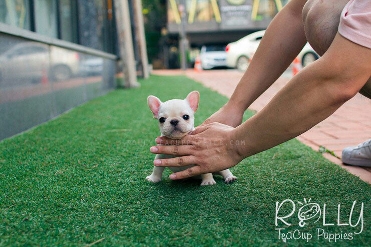 Toro - French Bulldog - Rolly Teacup Puppies - Rolly Pups