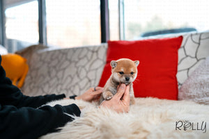 (Purchased by Colonna) Toro - Shiba Inu. F - Rolly Teacup Puppies