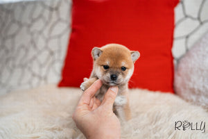 (Purchased by Colonna) Toro - Shiba Inu. F - Rolly Teacup Puppies - Rolly Pups