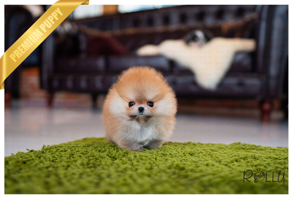 (Reserved by Yusuf) Tory - Pomeranian. F - Rolly Teacup Puppies