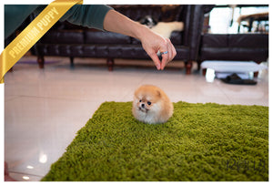 (Purchased by Yusuf) Tory - Pomeranian. F - Rolly Teacup Puppies