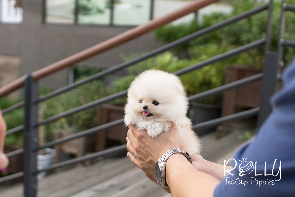 Troy - Pomeranian - Rolly Teacup Puppies - Rolly Pups
