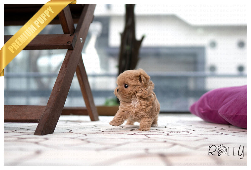 (PURCHASED by Tan) TRUFFLE - Maltipoo. M - Rolly Teacup Puppies - Rolly Pups
