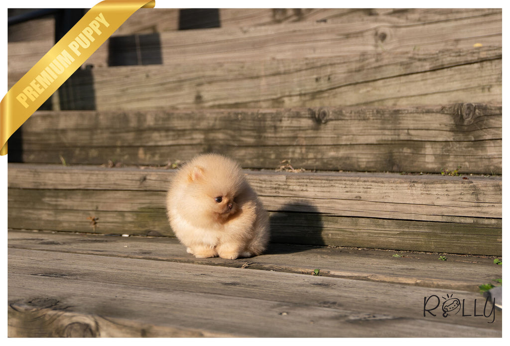 (Purchased by Santa)Truffle - Pomeranian. M - ROLLY PUPS INC