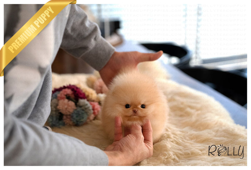 (Purchased by Santa)Truffle - Pomeranian. M - Rolly Teacup Puppies