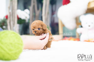 (SOLD to Nugent) Tulip - Poodle. F - Rolly Teacup Puppies